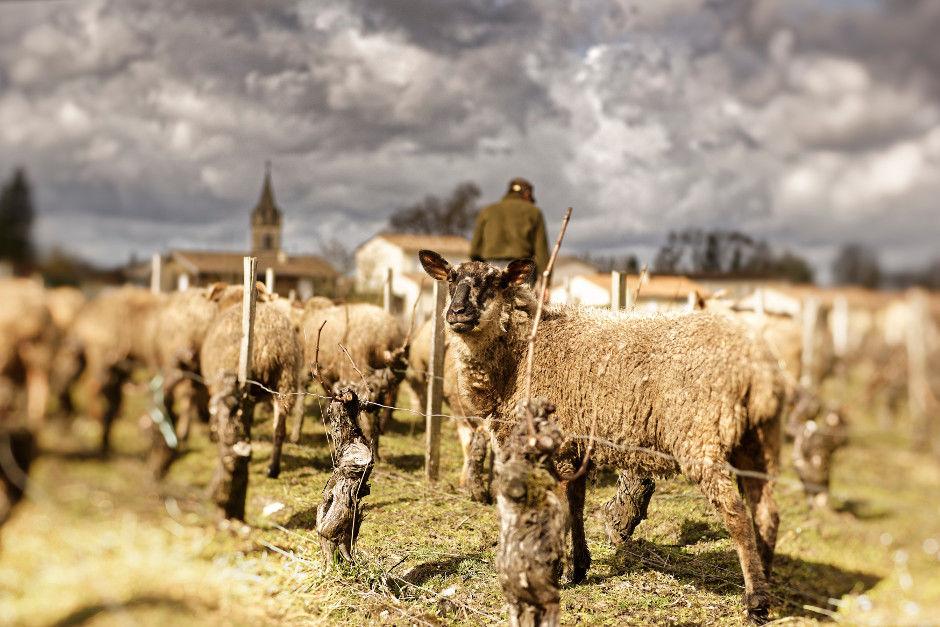 Ces moutons se régalent