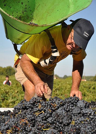 Vendanges Manuelles dans les vignes du Médoc